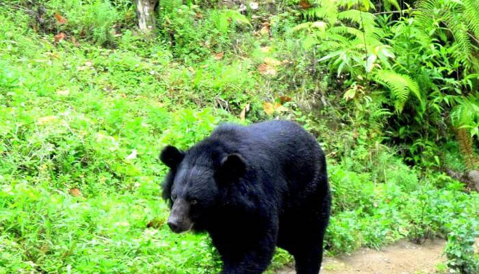 Spot the Himalayan Black Bear at the Nargu Wildlife Sanctuary